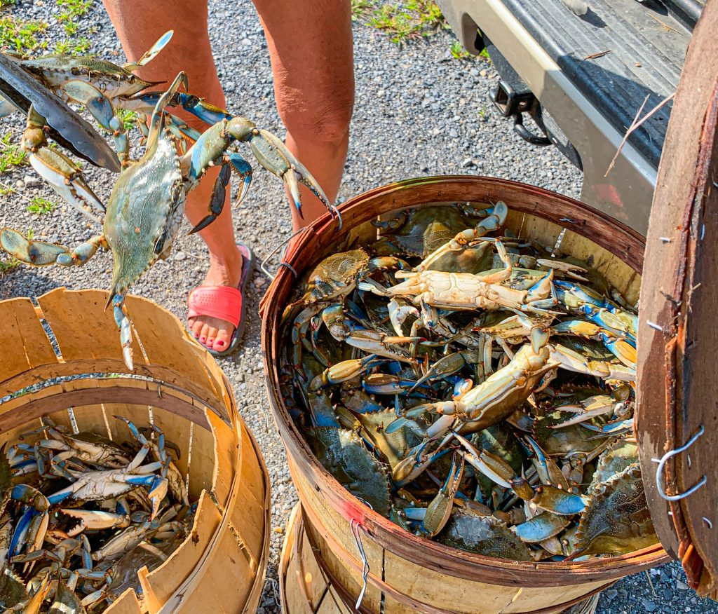 Live Maryland Blue Crabs for steaming